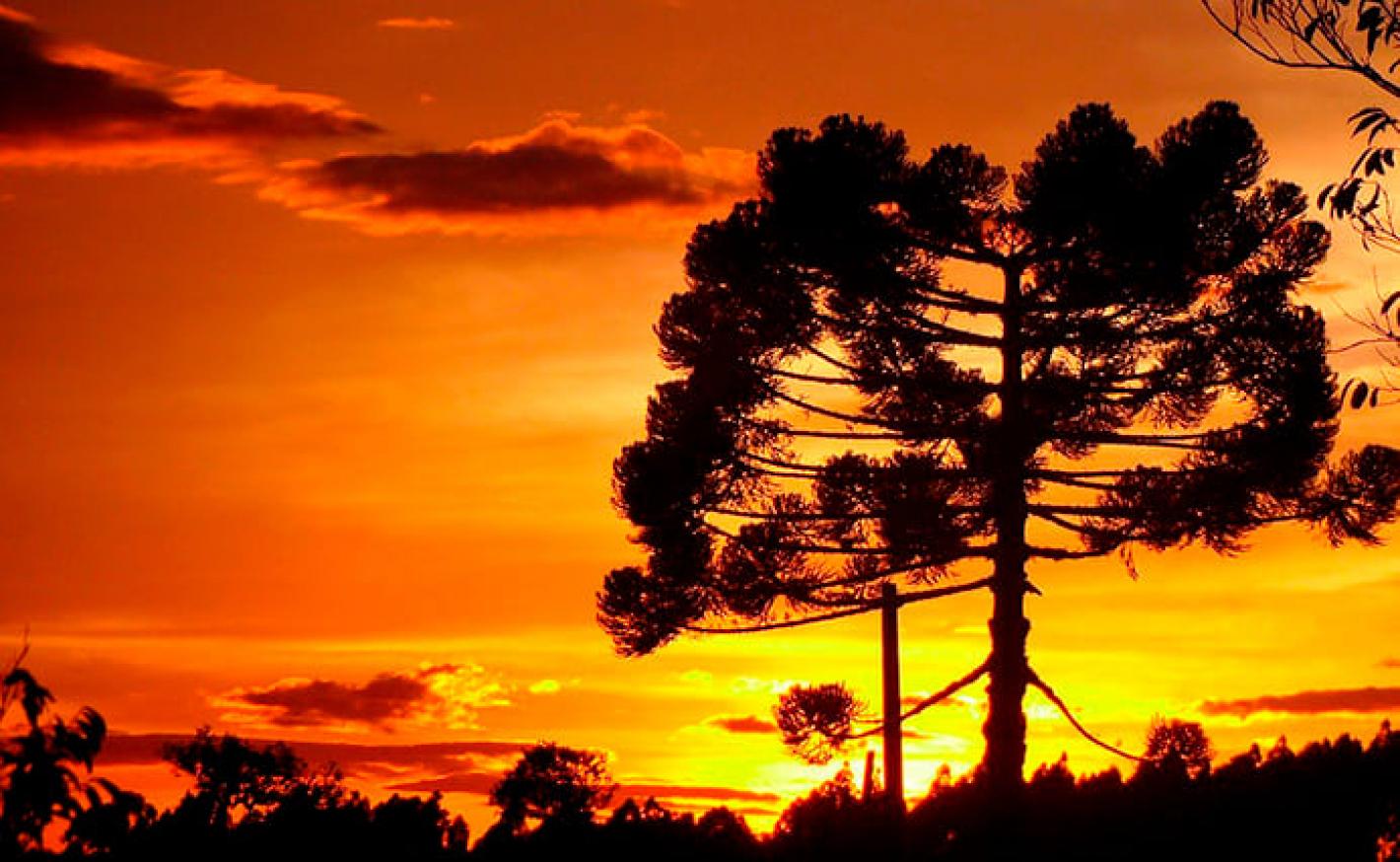 Árvore da Araucária