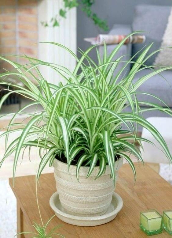 Planta clorófito em cima de mesa de madeira