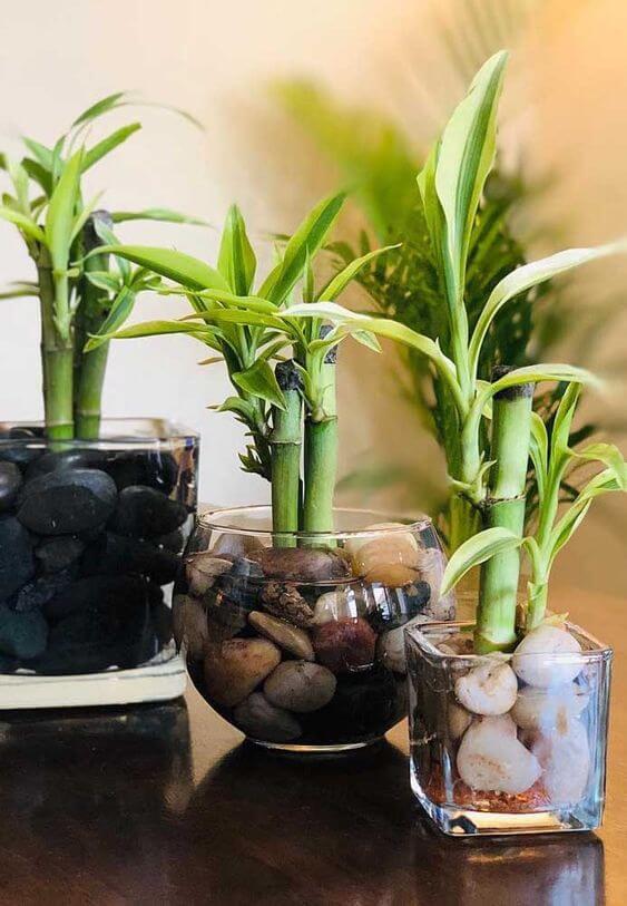 pés de Bambu da sorte plantados em vasos de vidro com pedra