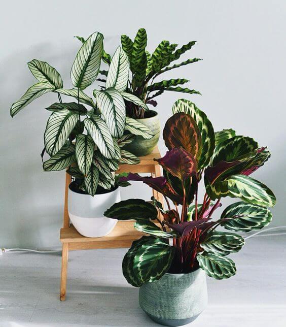vasos de plantas da espécie Calatheas em ambiente claro