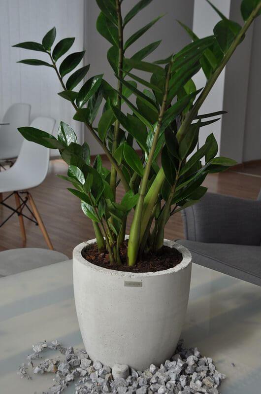 Vaso branco com planta Zamioculca na mesa de centro de sala