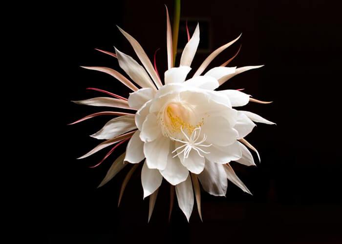 Flor dama-da-noite